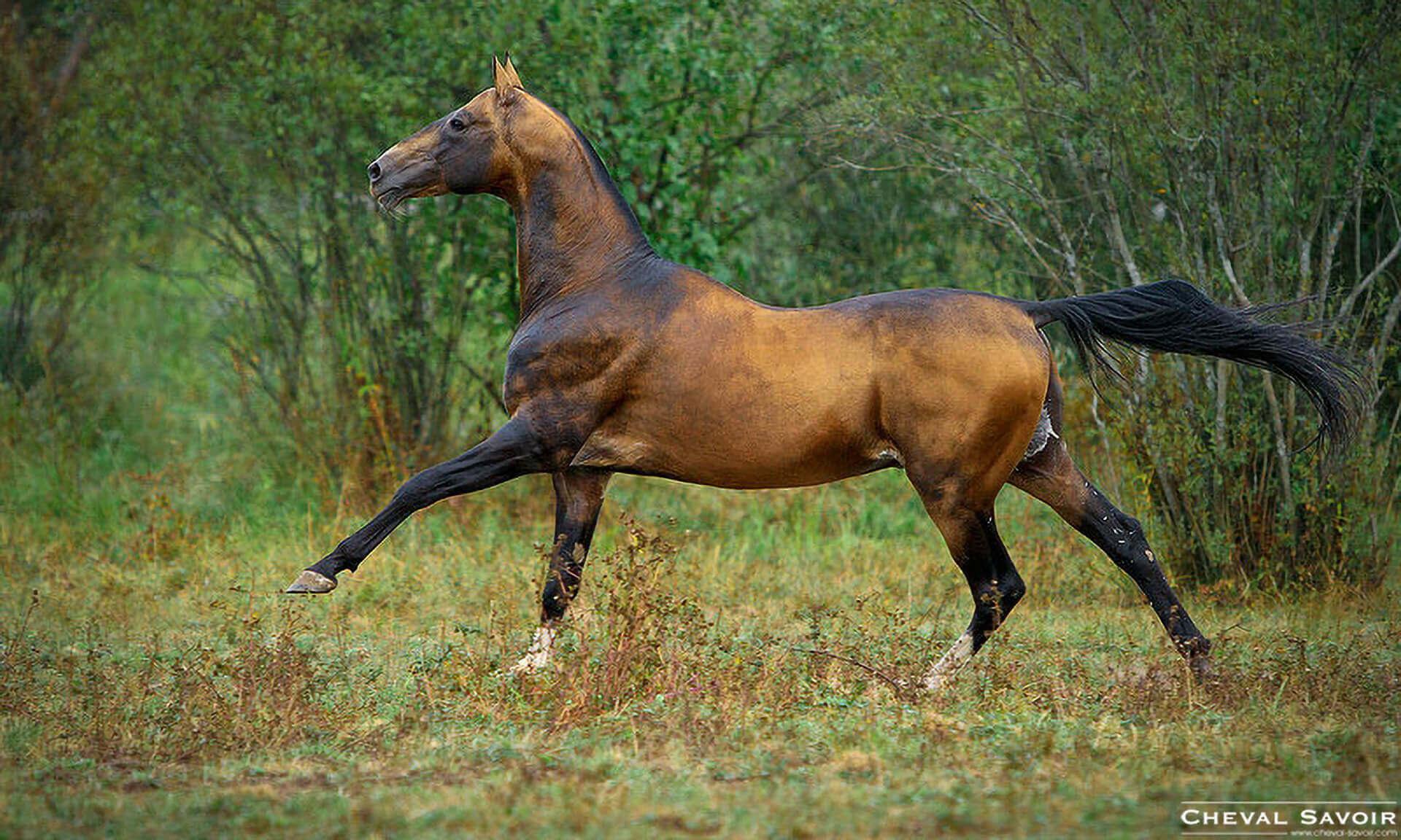interview-leonid-babaev-breeder-akhal-tekes-good-horse-particular-colour-8